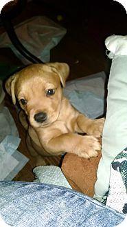 Hainesville, IL - Pit Bull Terrier/Shepherd (Unknown Type) Mix. Meet Wolfie a Puppy for Adoption.