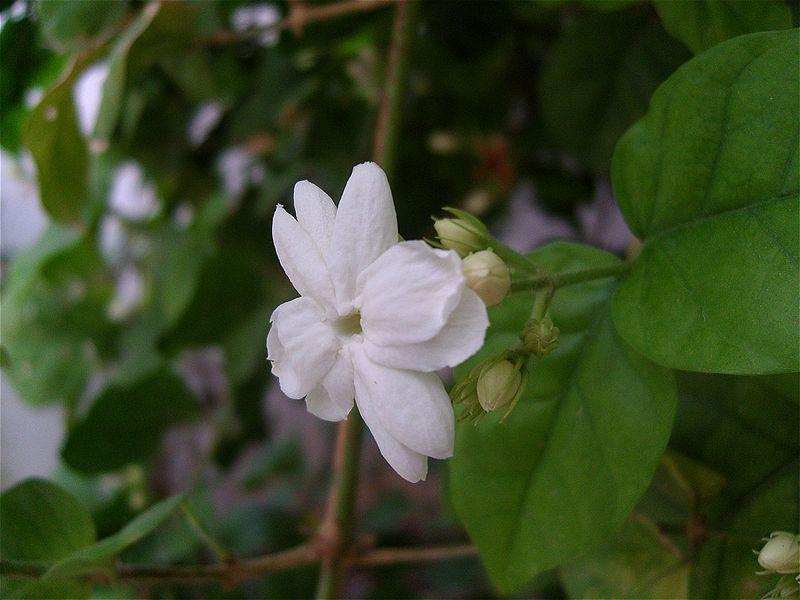 Jasmine Flower Plants Tea And Symbolism With Pictures Plants Flower Names Jasmine Plant