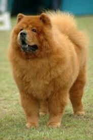 Big Chow Chow Chinese Dog Dog Biting Training Dogs