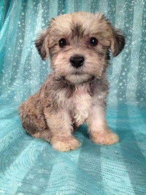 Schnoodle puppies Iowa Breeder sale Shipping 196.JPG 300