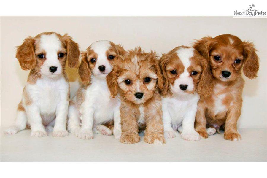 Princess Ann Our Female Cavalier King Charles Cavalier King Charles Spaniel King Charles Cavalier Spaniel Puppy Cavalier Puppy