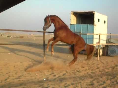الفحل صقر الصواري عارض ا نفسه الحصان عربي جمال و نسب Horse World Horses Animals