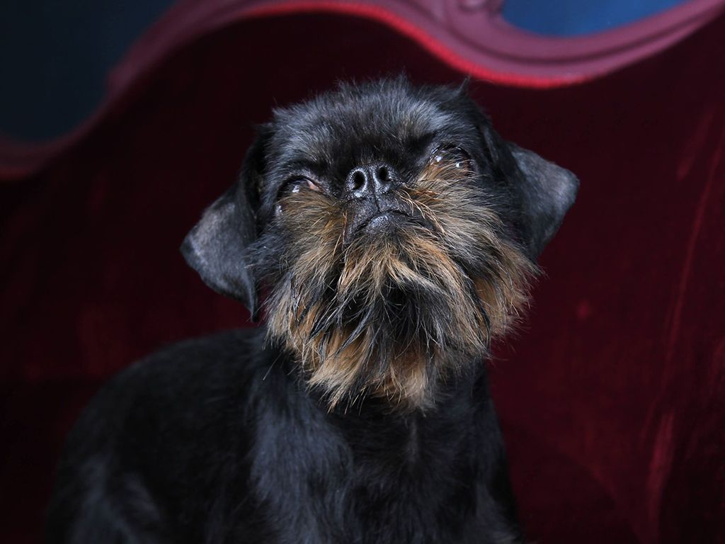 Amadeus Brussels Griffon Puppy for sale Brussels
