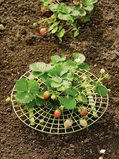 Strawberry Supports | Protect Berries with this Strawberry Plant Cradle #veggiegardens
