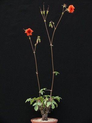 CAUDICIFORM Pelargonium boranense