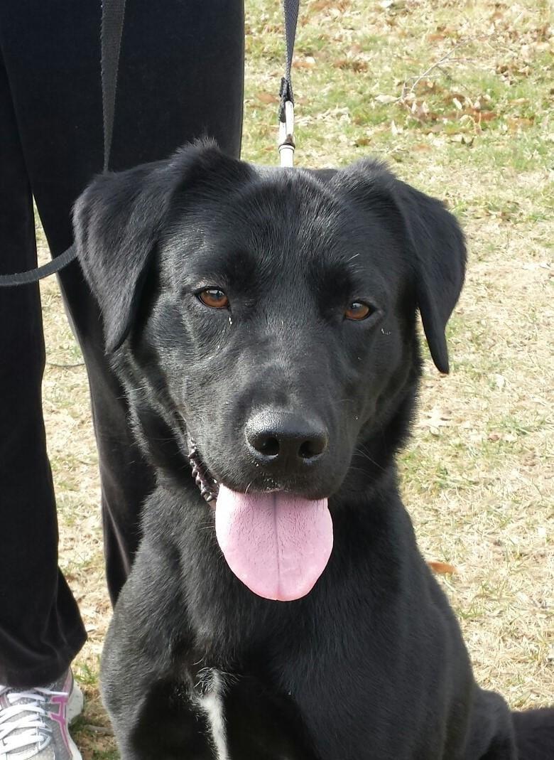 Adopt Kyzer On Labrador Retriever Mix Labrador Retriever Pup