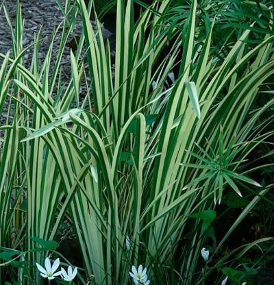 Variegated Sweet Flag Finegardening Acorus Plants Perennials