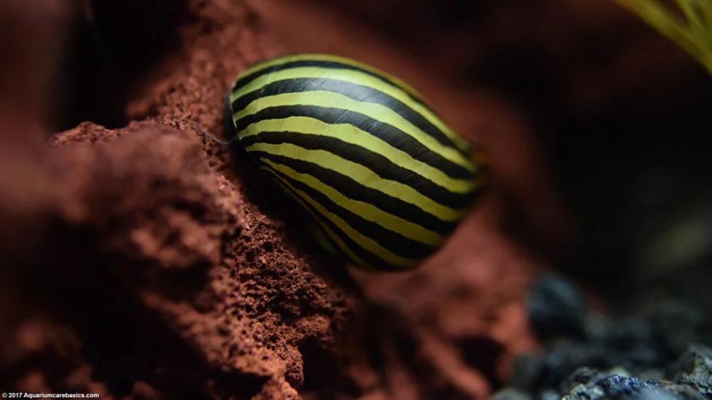 Nerite Snails Algae Eating Care Lifespan Eggs In 2020 Snail Betta Fish Tank Beautiful Fish