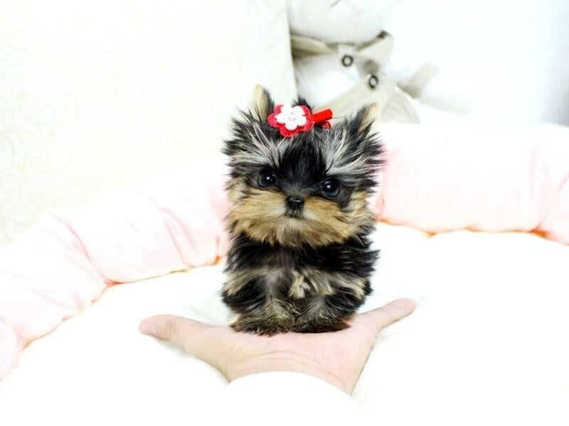 Teacup Yorkies For Sale In Usa In 2020 Yorkie Puppy For Sale Teacup Yorkie Puppy Pet People