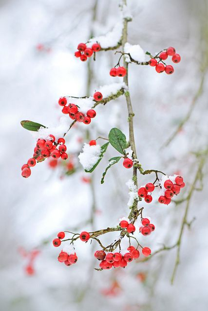 winterberries#iphone wallpaper