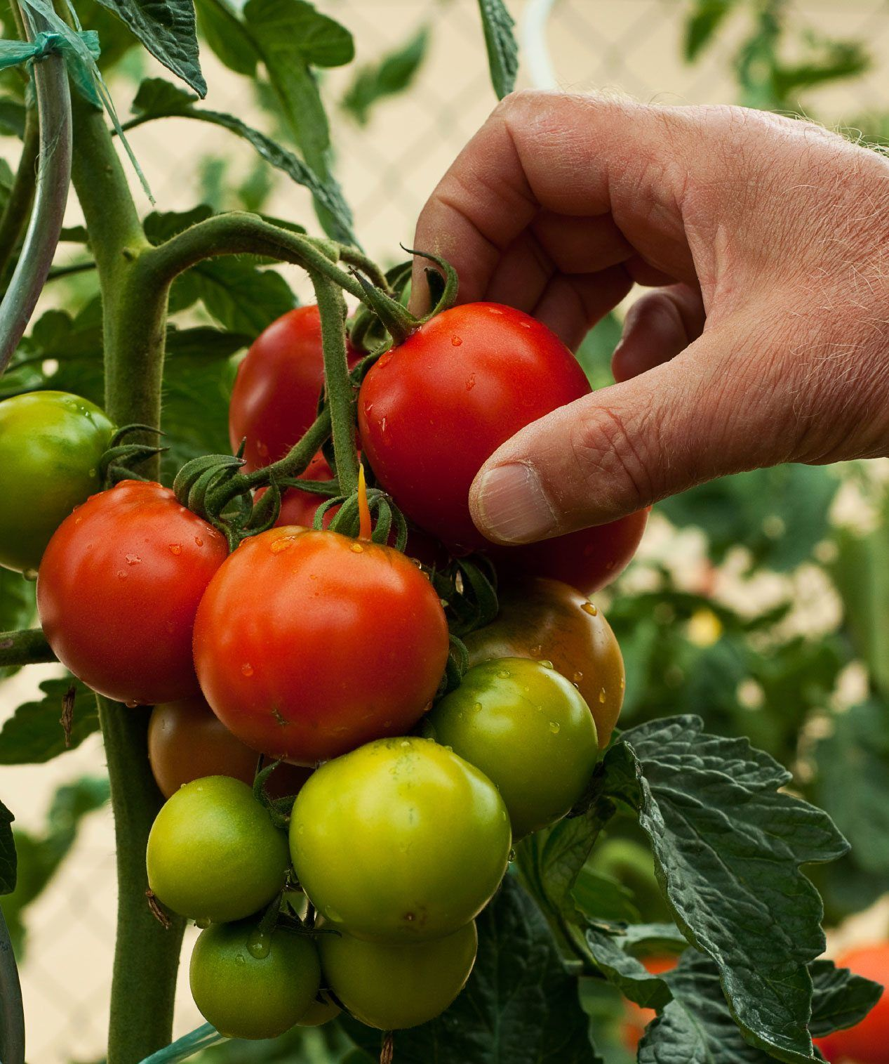 Harvest Time For Tomatoes When To Pick Tomatoes Tomato Garden