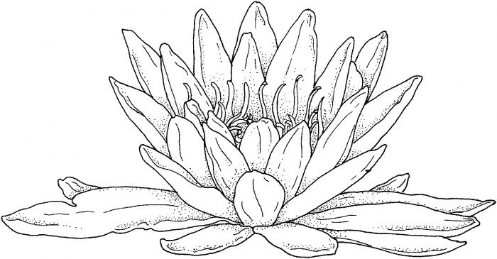 Blooming Water Lily Coloring Page Super Coloring Lilies Drawing Coloring Pages For Grown Ups Flower Coloring Pages
