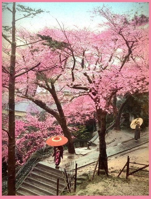Two Parasols Under The Cherry Blossoms Natural Art In Old Japan Japan Cherry Blossom Japan Photo
