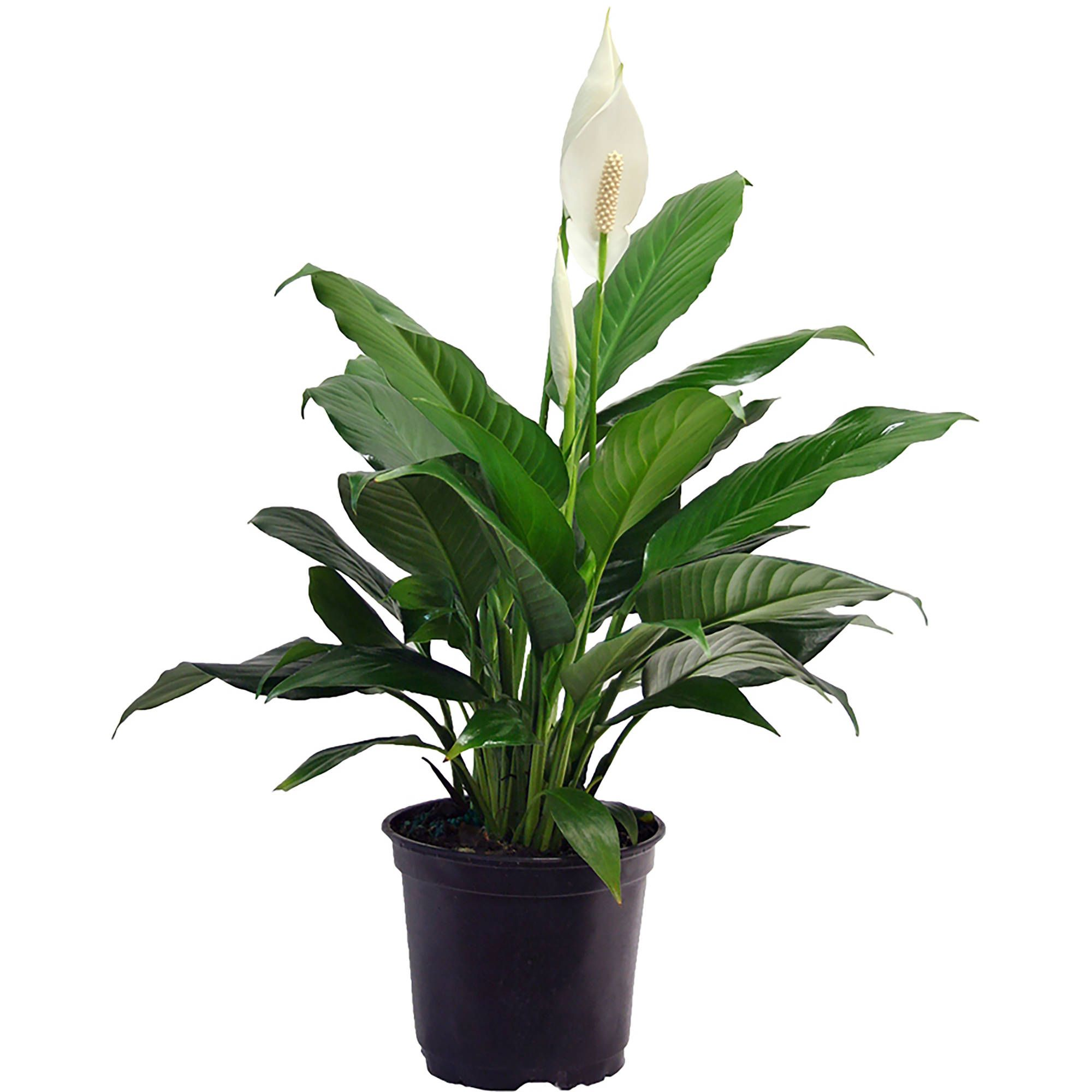 10 13 17 Common Name Peace Lily Scientific Name Spathiphyllum Wallisii Season Summer And Spring Temps Above Lily Plants Peace Lily Plant Live Indoor Plants