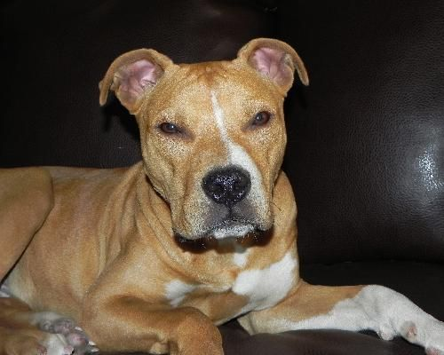 Meet Kenny, an awesome 8 month old Staffordshire terrier mix. He's about 40lbs but he was pretty thin when he was found, so he will gain a bit of weight. He's definitely the sweetest puppy you will ever meet - a total lover-boy! His favorite place to be is cuddled up with people, but if you want to play he's happy to do that too. He has no problem meeting new people. Everyone is his best friend! He loves dogs and kids. We haven't seen him around cats, but based on his personality, suspect…