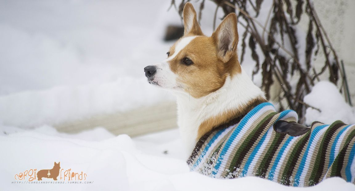 A beautiful snow Corgi