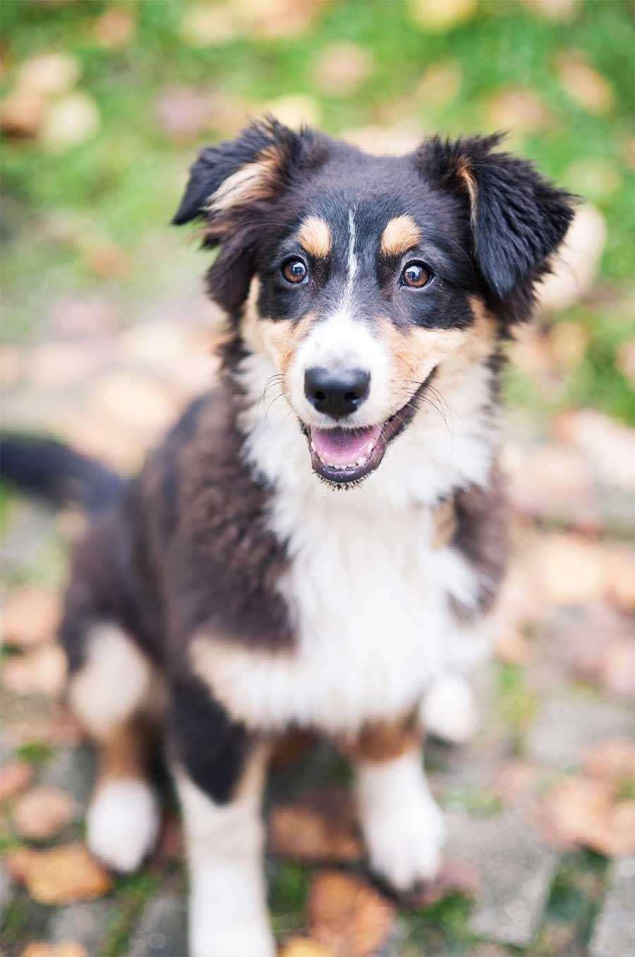 Aussehen (mit Bildern) Australische schäferhunde