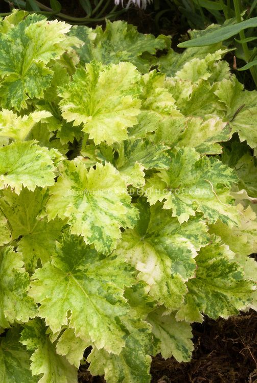 Heuchera u0027Strawberries and Creamu0027 foliage variegated leaves