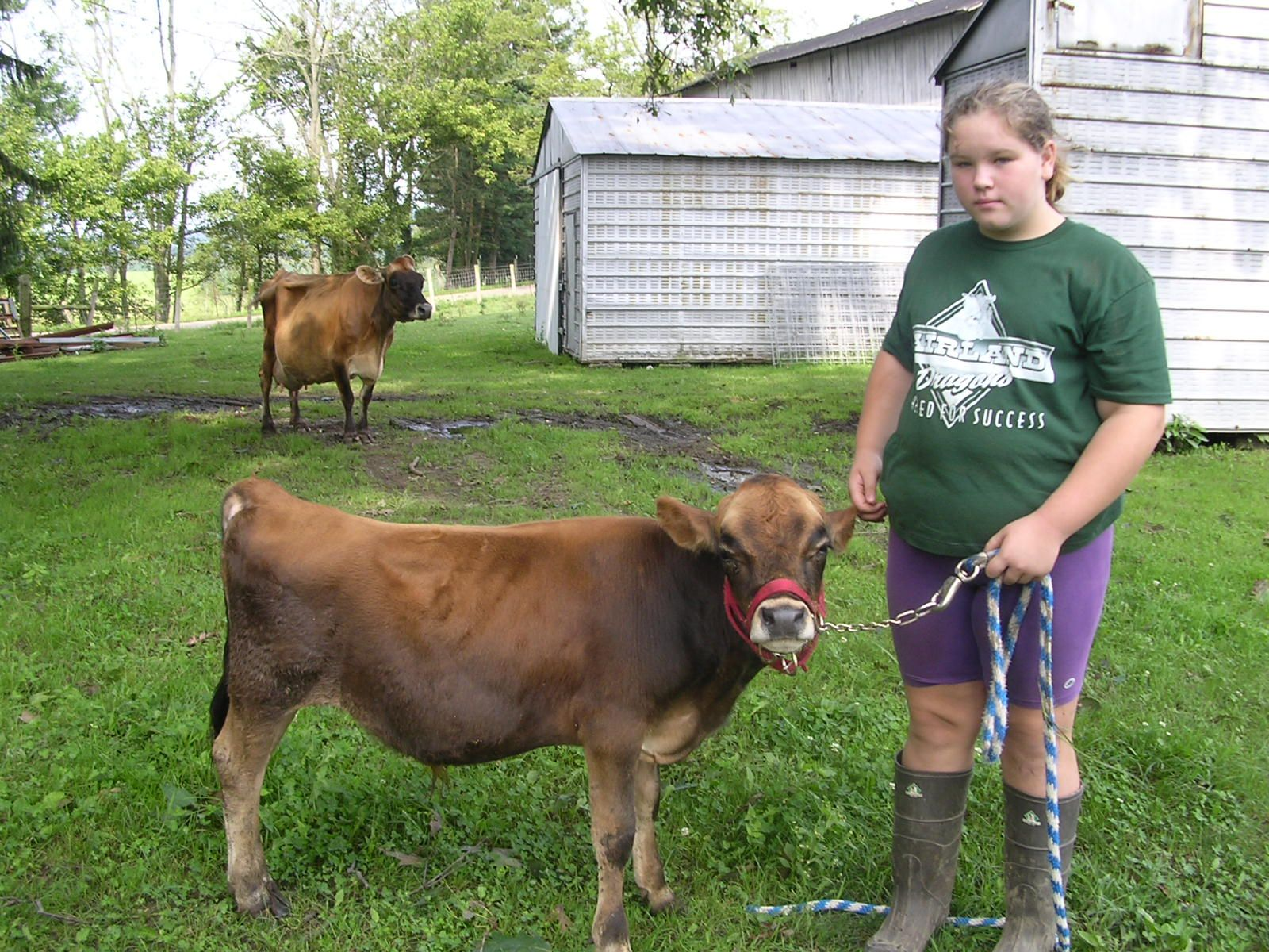 miniature jersey cows on the farm pinterest jersey cows