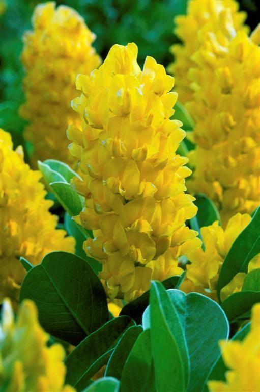 Pineapple Broom Google Da Ara Flower Garden Pictures Trees To Plant Fragrant Garden