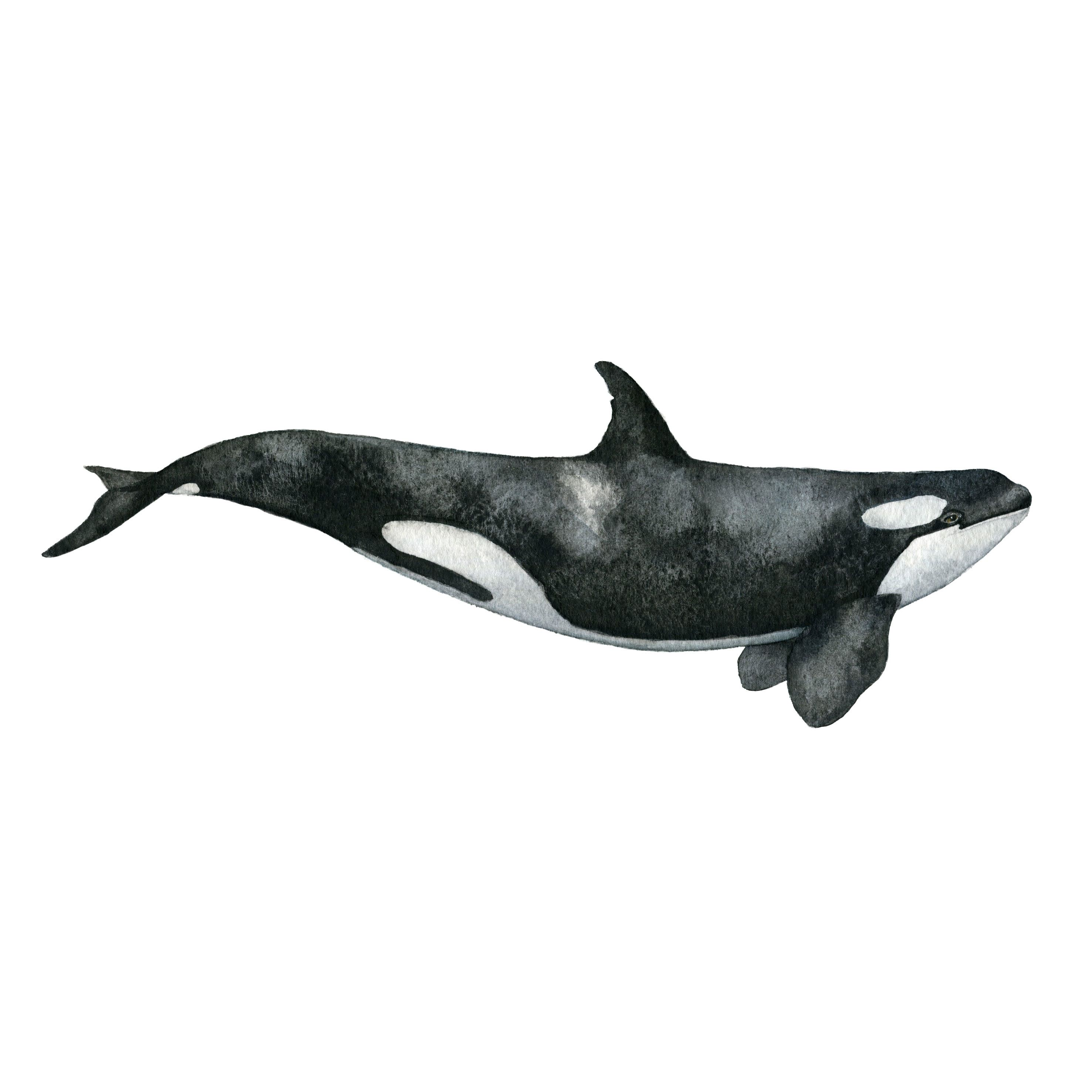 The Killer Whale is a part of The Whale Collection. It's a ...