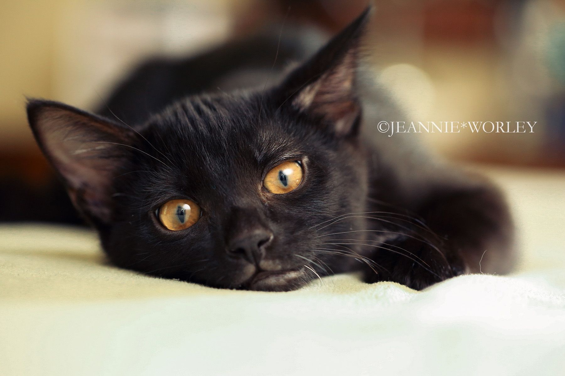 Lincoln Black Kitten With Amber Eyes Jeannie Worley Photographer Black Kitten Warrior Cats Kitten