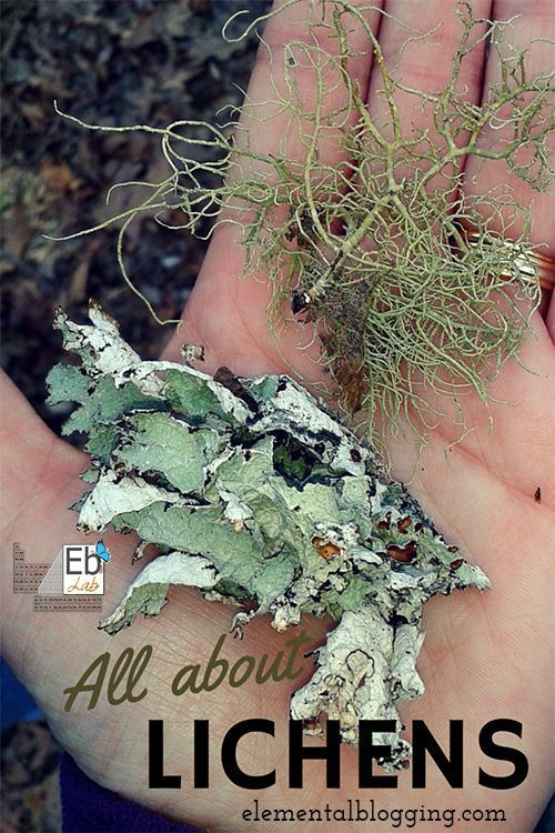All About Lichens at the Homeschool Science Corner | Learn what a lichen really is, what the three types are, and go on a lichen hunt of your own! {Free Printable Included}