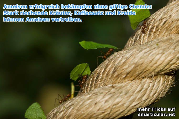 Great Diese nat rlichen Hausmittel helfen gegen Ameisen