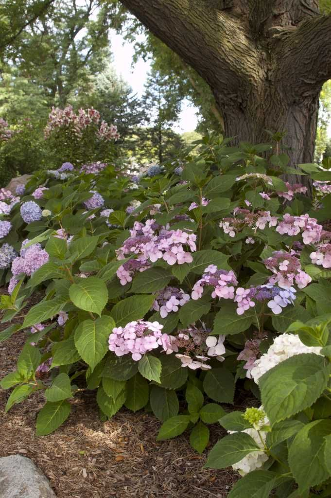 Hydrangea Macrophylla Twist And Shout Endless Summer Hydrangea Bigleaf Hydrangea Hydrangea