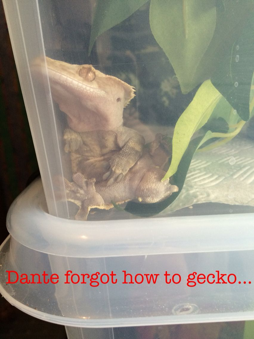 Sometimes a gecko just forgets    | Crested gecko | Gecko