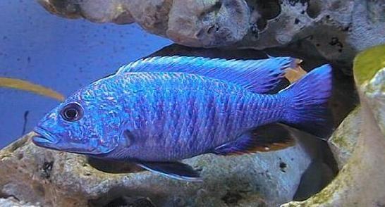 http://www.pinellasaquariums.com/cobalt african cichlid