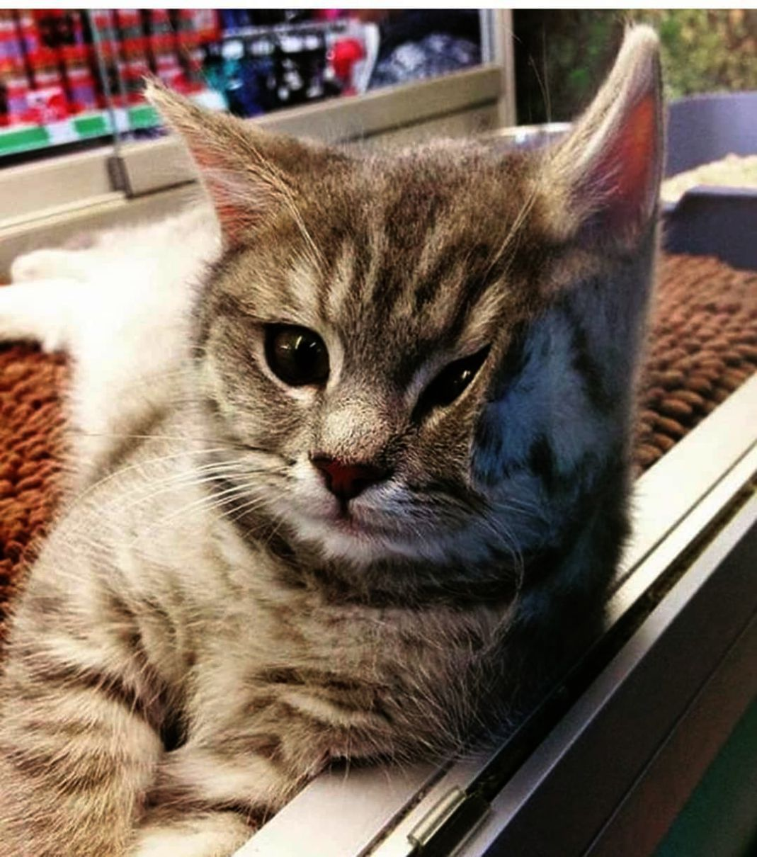 Kittens For Free Chicago Kitten Meows Then Bites During Cute Baby Animals Playing Videos Out Cute Animals To Draw Videos Minus Gr Cute Cats Funny Animals Cats