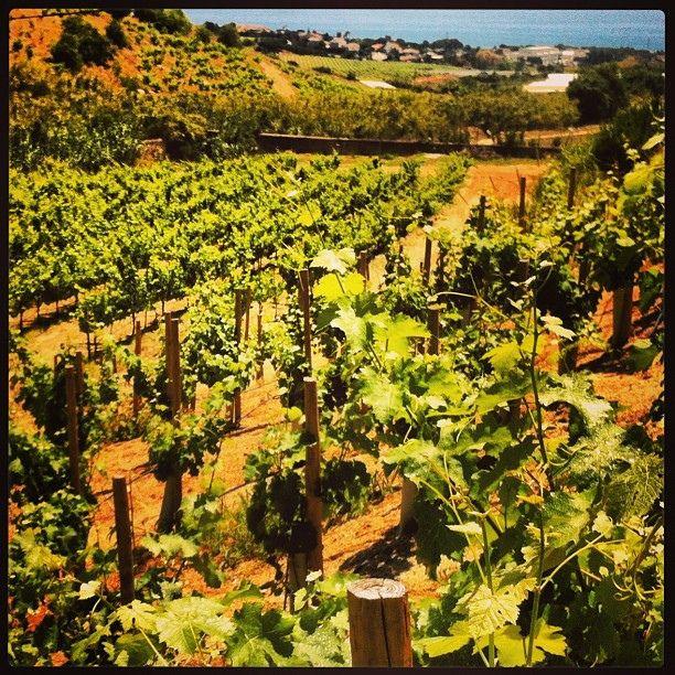 Vinyes verdes vora el mar @Alta Alella Privat #Enoturisme #Maresme #BCNmoltmes