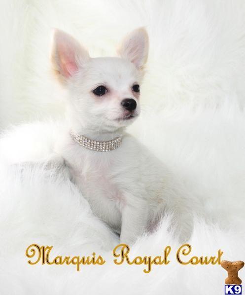Akc Gorgeous Cricket Great Chihuahua Portrait Chihuahua
