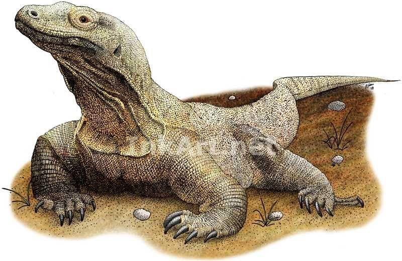 Full Color Illustration Of A Komodo Dragon Varanus Komodoensis Komodo Dragon Dragon Illustration Komodo