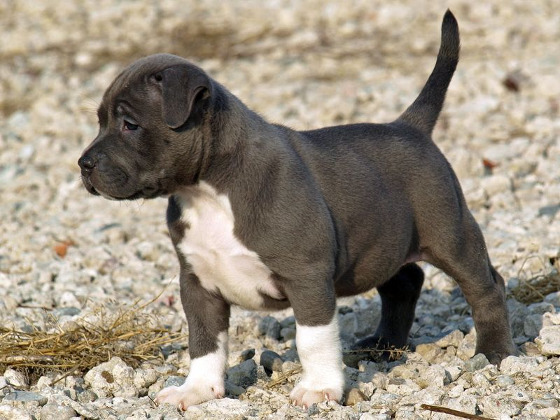 Bosco puppy