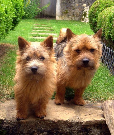 Zwei Putzige Niedliche Knuddel Wauzi Terrier Dog Breeds Super Cute Dogs Norwich Terrier