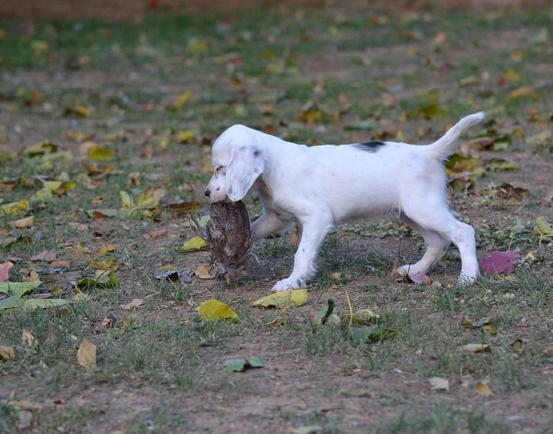 Female English Setter Puppies Field Bred English Setter