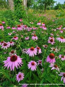 Flowers Herbs Edibles Great Smoky Mountains Vacation Photo Gallery Purple Coneflower Blooming In The Gr Native Plants Smoky Mountains Vacation Echinacea Tea