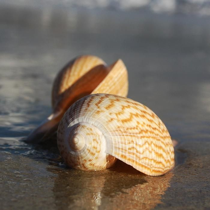 This particular species (Ficus Gracilis) is a common shell in seas stretching from Japan