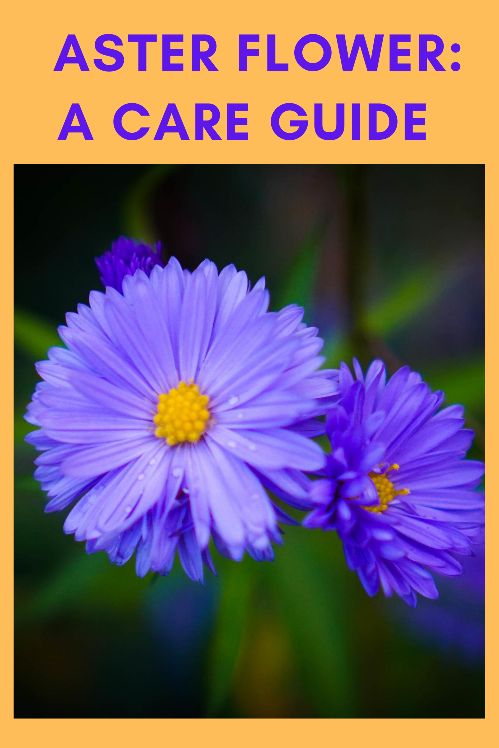 Aster Flower A Care Guide In 2020 Aster Flower Flower Care Aster