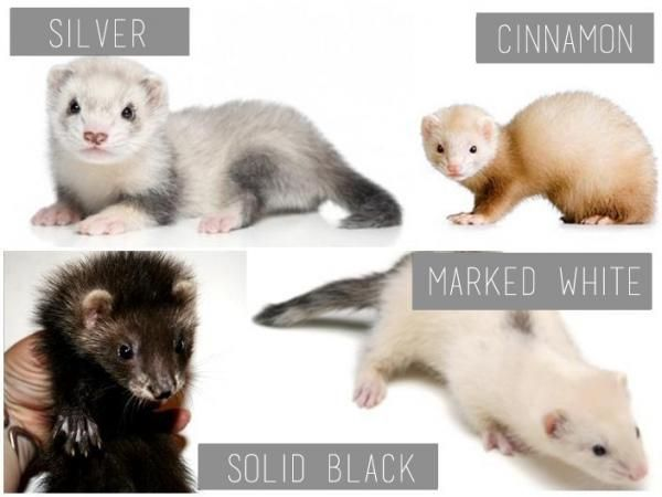 Ferret Colors And Patterns Pictures