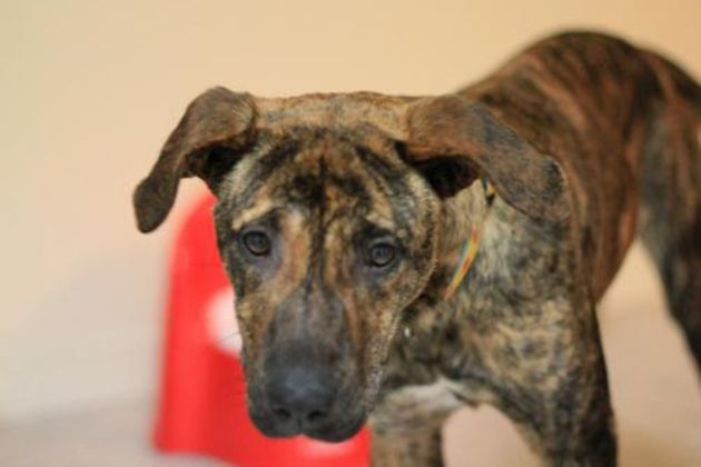 Treeing Tennessee Brindle Dog Breed Brindled Happy Hunter Dog Breed Info Dog Breeds Dogs