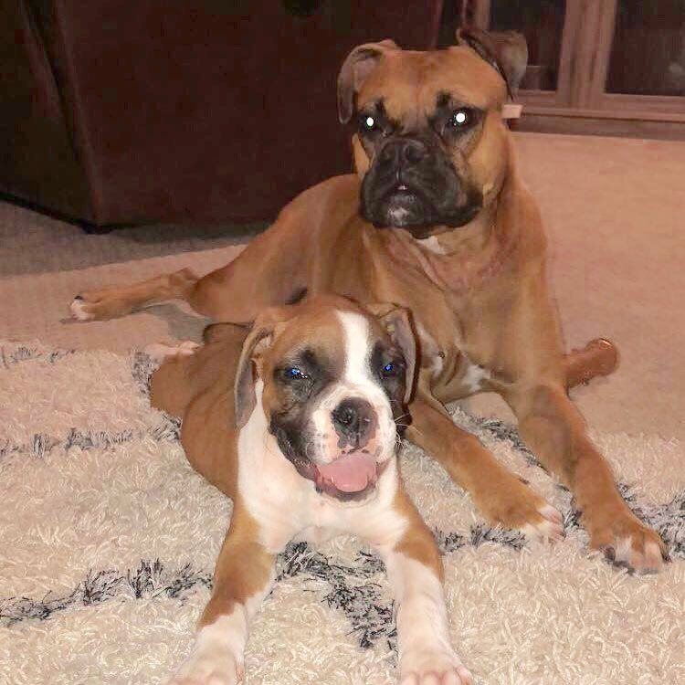 How Much Are Boxer Dogs Ideas