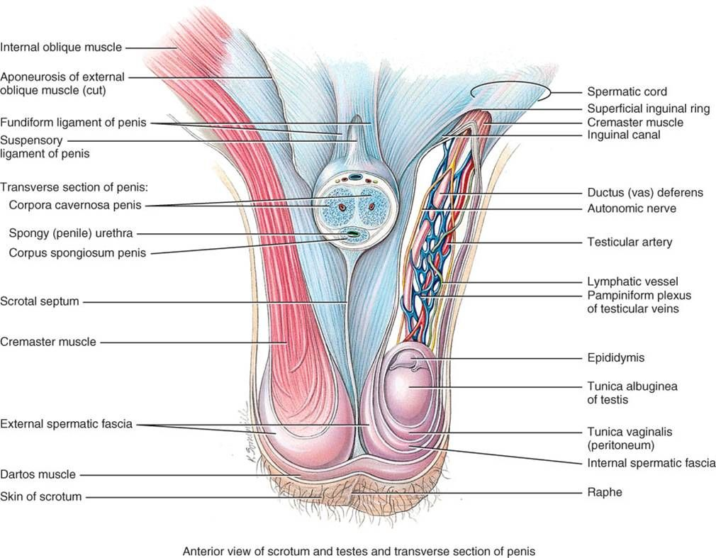 Spermatic Cord Contents Some Anatomy Pinterest Anatomy And
