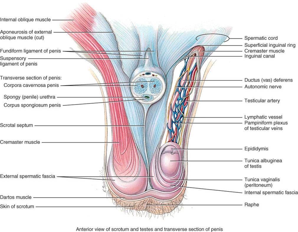spermatic cord contents + some | Anatomy | Pinterest | Cord, Scrub ...