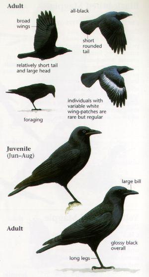 American Crow: | Raven Anatomy | Raven Anatomy | Pinterest