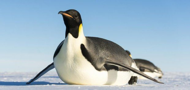 Every penguin, ranked: which species are we most at risk of losing?