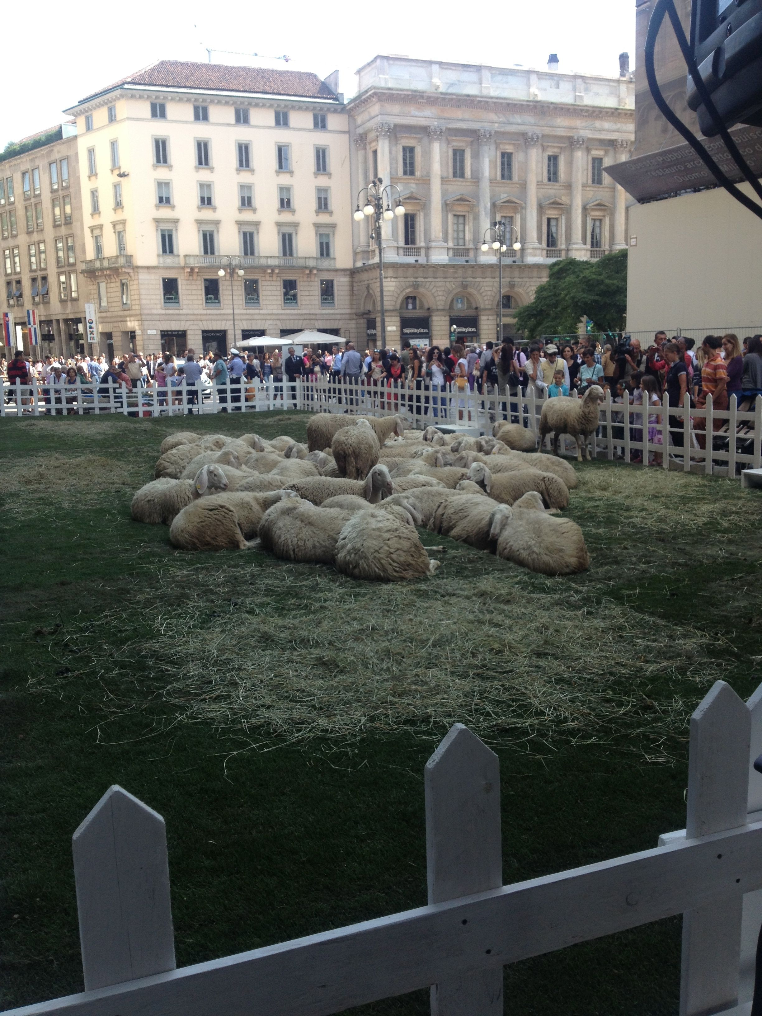 Sheep in the centre of Milano. Must be Wool Week