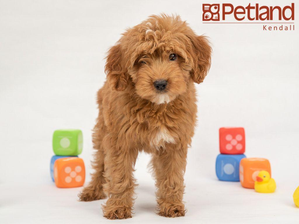 Teddy bear puppies breeder in florida